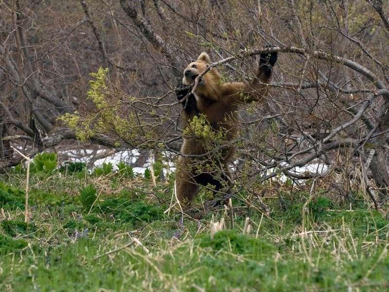 медведь нагнул ветку дерева