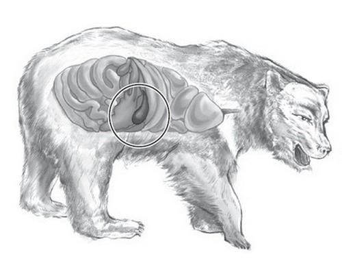 рисунок медведя в разрезе
