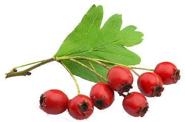 веточка с плодами