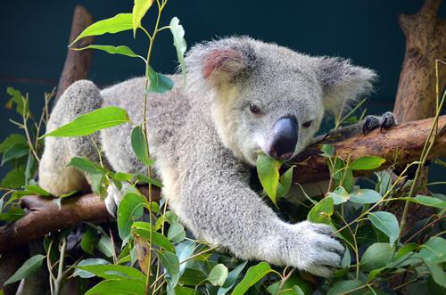 мишка коала
