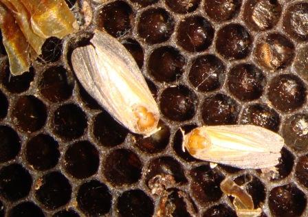 бабочка пчелиной огневки