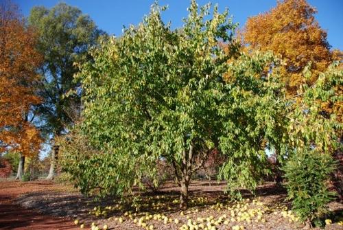 дерево адамова яблока
