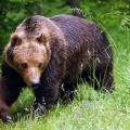 бурый медведь на поляне
