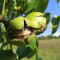 плод грецкого ореха на ветке