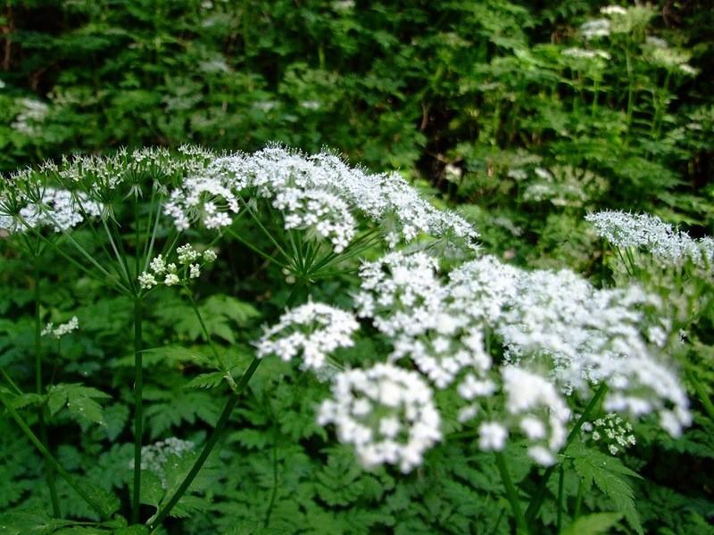 болиголов в цветении