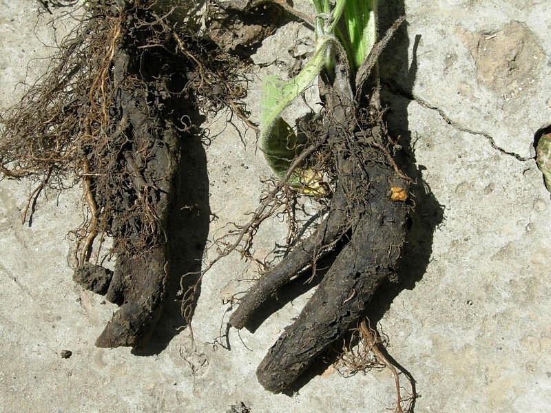 корень живокоста