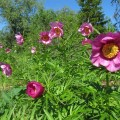 пион в период цветения