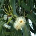 эвкалипт во время цветения