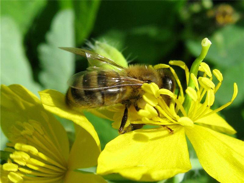 пчела на цветкечистотела