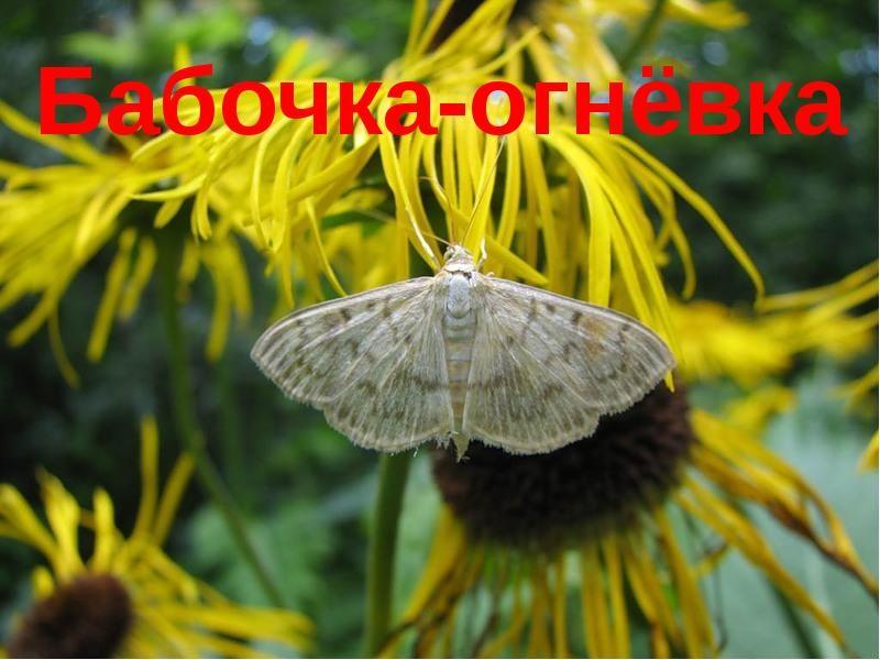 восковая моль бабочка